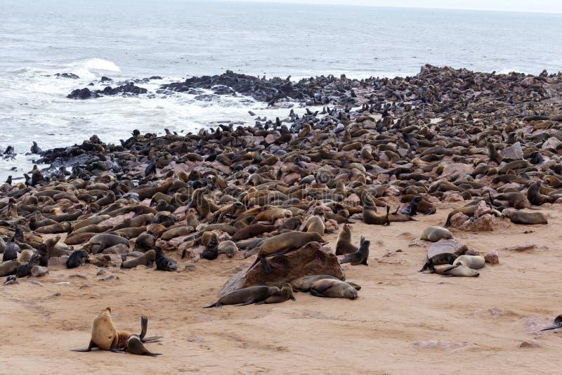 Enorm koloni av den bruna pälsskyddsremsan - sjölejon i Namibia royaltyfri fotografi