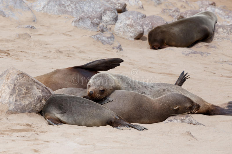 Enorm koloni av den bruna pälsskyddsremsan - sjölejon i Namibia arkivfoto