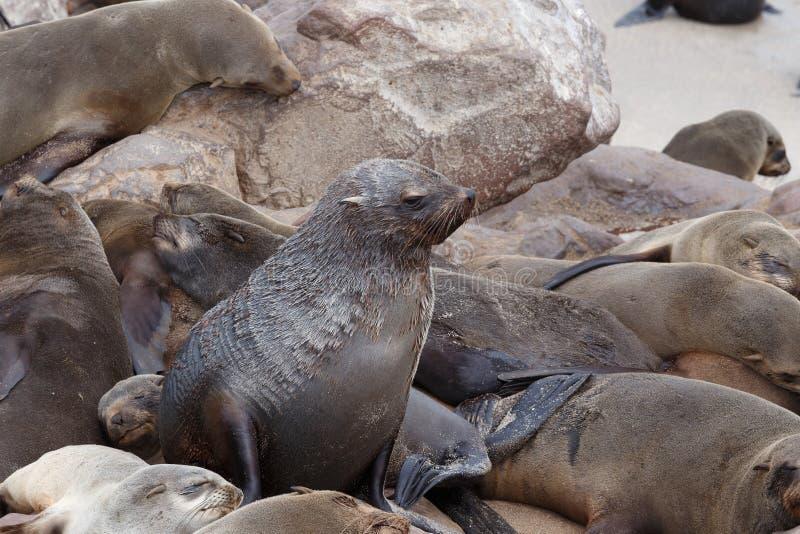 Enorm koloni av den bruna pälsskyddsremsan - sjölejon i Namibia royaltyfri foto