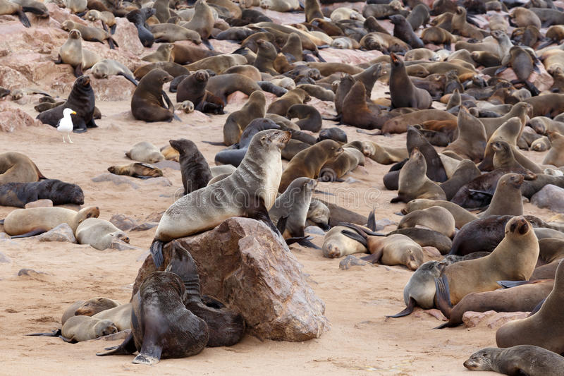 Enorm koloni av den bruna pälsskyddsremsan - sjölejon i Namibia fotografering för bildbyråer
