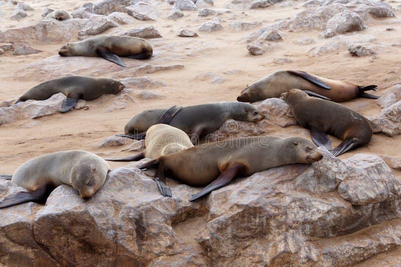 Enorm koloni av den bruna pälsskyddsremsan - sjölejon i Namibia arkivbild