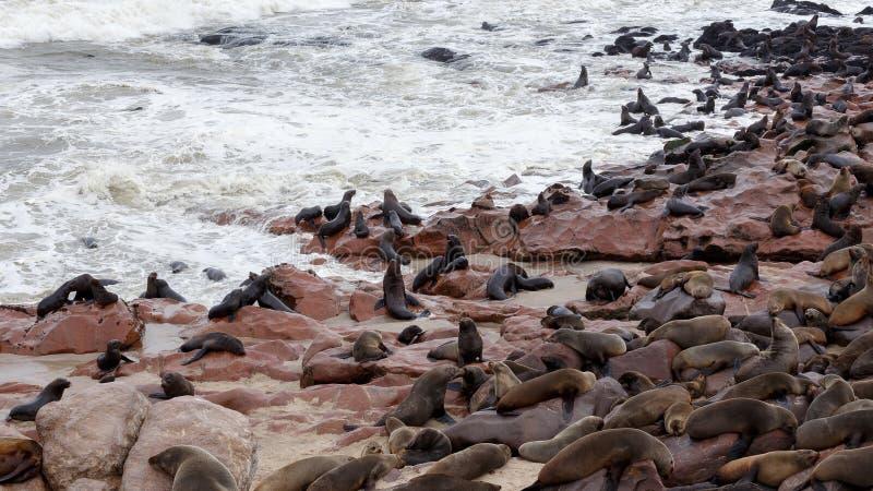 Enorm koloni av den bruna pälsskyddsremsan - sjölejon i Namibia royaltyfria bilder
