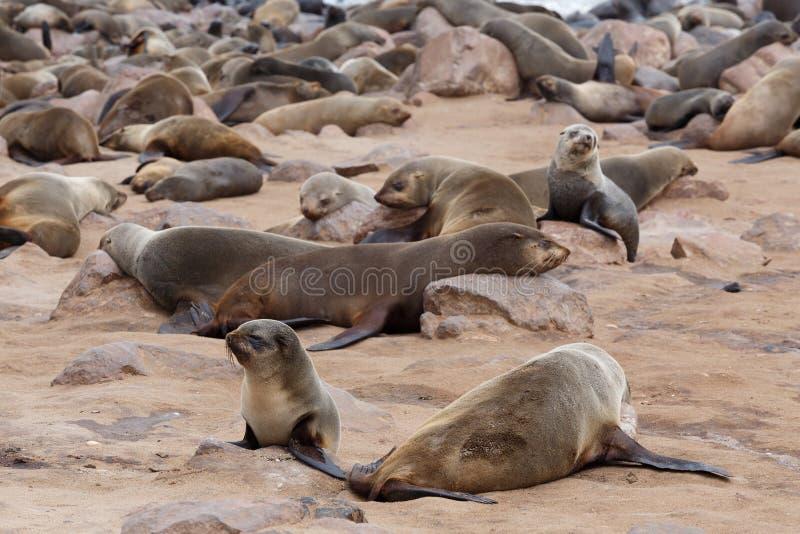 Enorm koloni av den bruna pälsskyddsremsan - sjölejon i Namibia arkivbilder