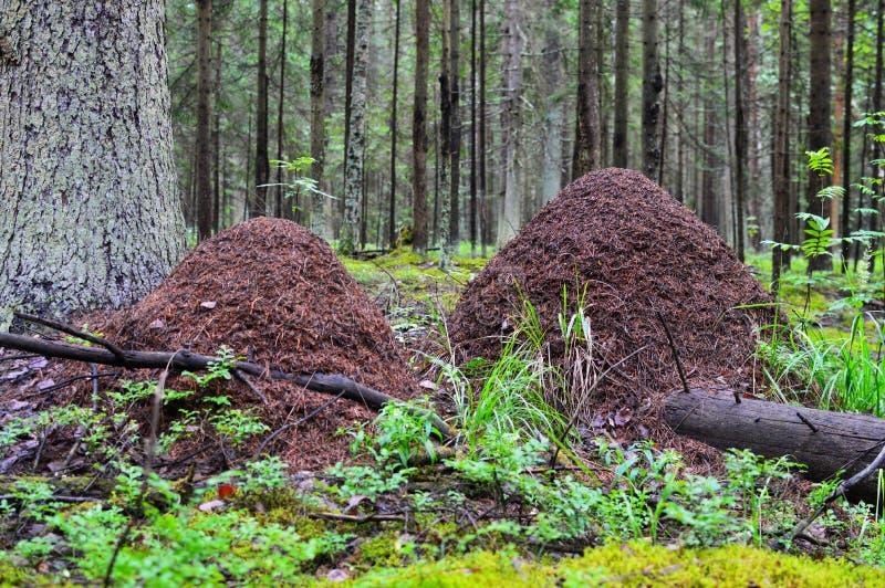 Enorm myrakulle i skogen det stora huset för myror Liv av myror royaltyfria bilder