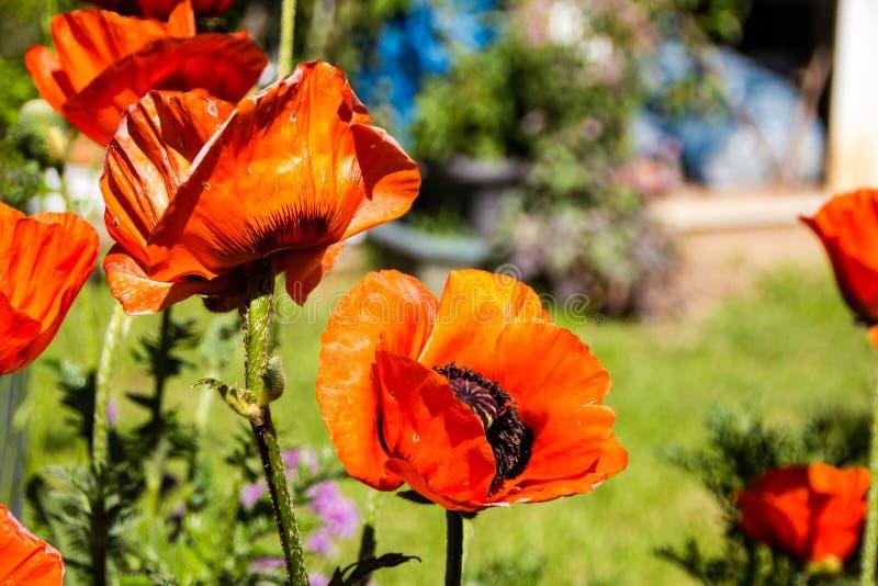 Enorm orange Papaverorientale för orientaliska vallmo har strålnings- och papery blom med blåtiror royaltyfri foto