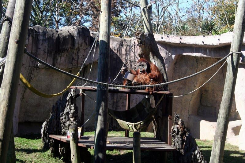Enorm orangutang i den Audubon zoo arkivfoton