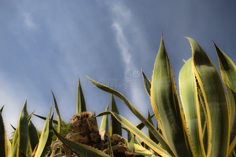 Enorm suckulent växt av agavealoe vera som stiger upp i blå himmel arkivfoto