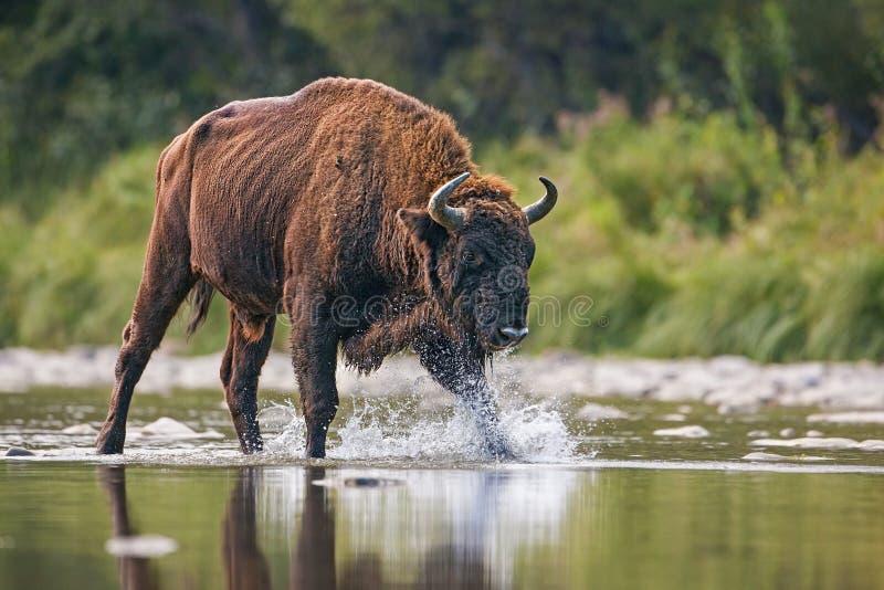 Enorm tjur av den europeiska bisonen, bisonbonasus som korsar en flod arkivfoton