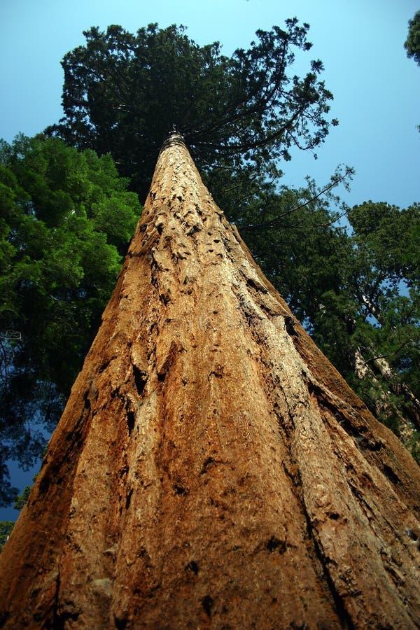 enorm tree arkivfoton