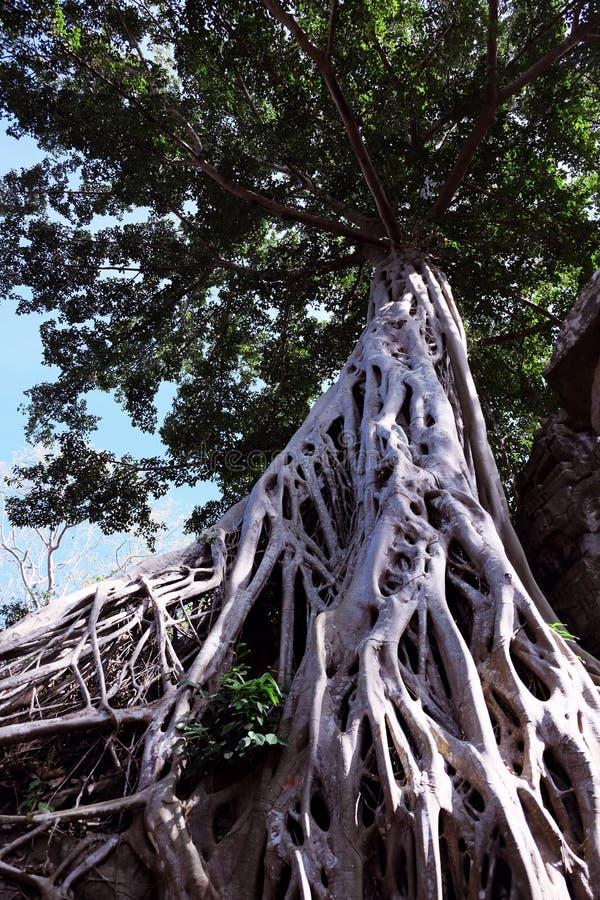 Enorm vit rotar av det Tetrameles tr?det Frodig krona av ett tropiskt tr?d royaltyfria foton