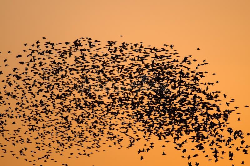 Enorma flockar av stare på solnedgången royaltyfri fotografi