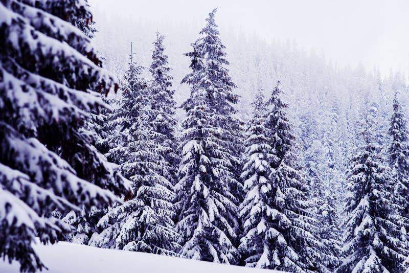 Enorma granträd som täckas med snö på berglutningen royaltyfria foton