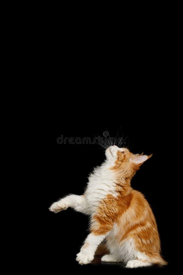 Enorma Maine Coon Cat Isolated på svart bakgrund arkivbild