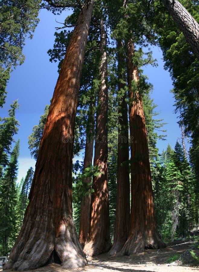 enorma sequoias arkivfoto