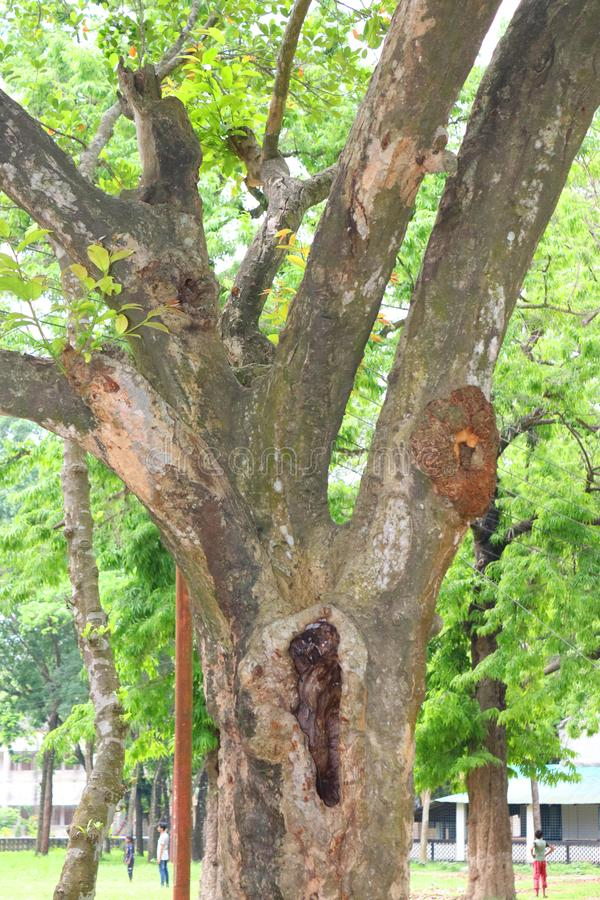 Enorma tr?dstammar i f?rdjupning det stora tr?det rotar, och solstr?len i en gr?n forestSpring ?ng rotar av ett stort tr?d med ny arkivfoto