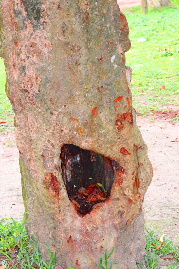 Enorma tr?dstammar i f?rdjupning det stora tr?det rotar, och solstr?len i en gr?n forestSpring ?ng rotar av ett stort tr?d med ny royaltyfri bild