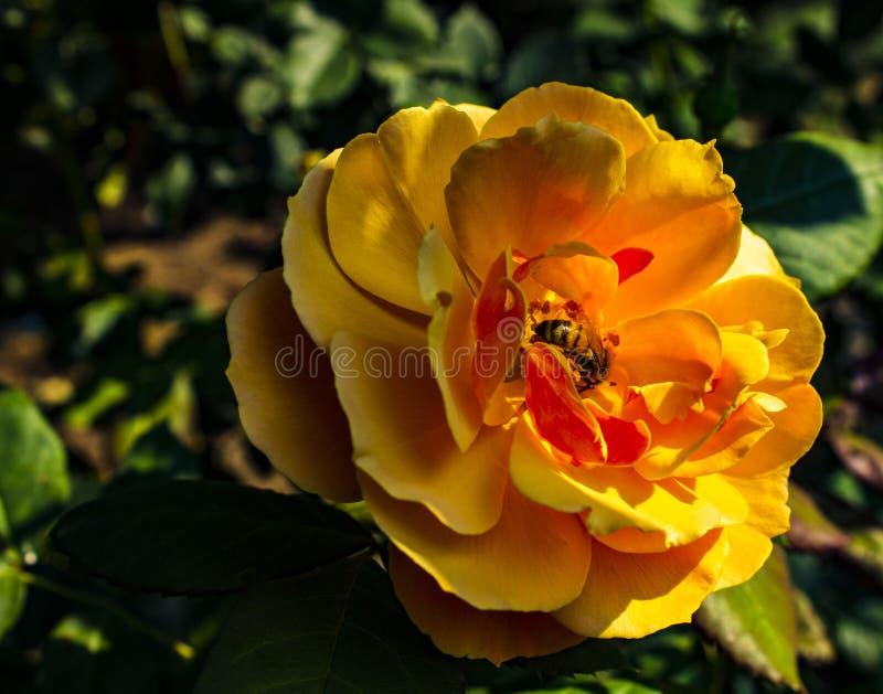 Enorme anaranjado ofreciendo una abeja fotos de archivo libres de regalías