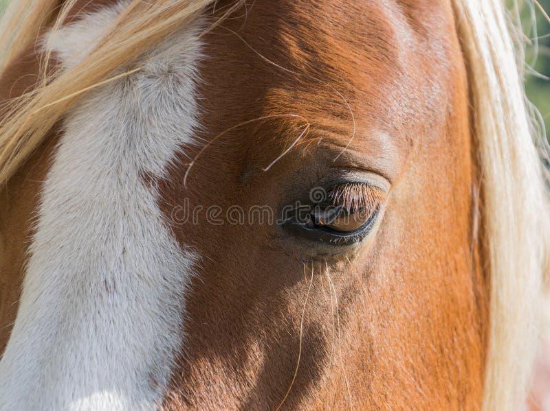 Enorme Augen einer sch?nen Braune stockfoto
