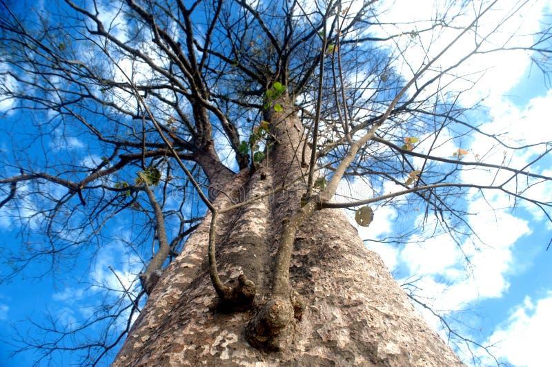 Enorme Ausbreitung des bloßen Baums von trockenen toten Blättern stockfotografie