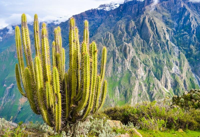 Enorme cactus en la ladera del cañón de Colca en el Perú con poca profundidad de campo imagen de archivo