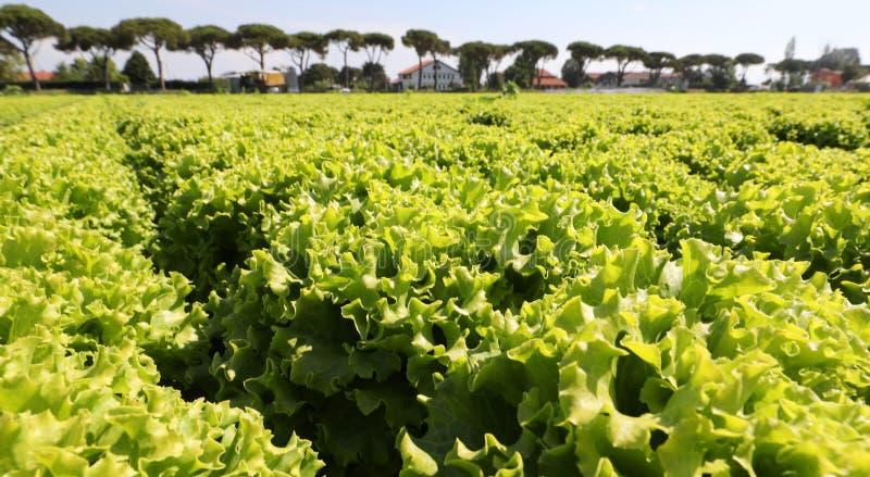 enorme campo de salada pronto para ser colhido imagens de stock