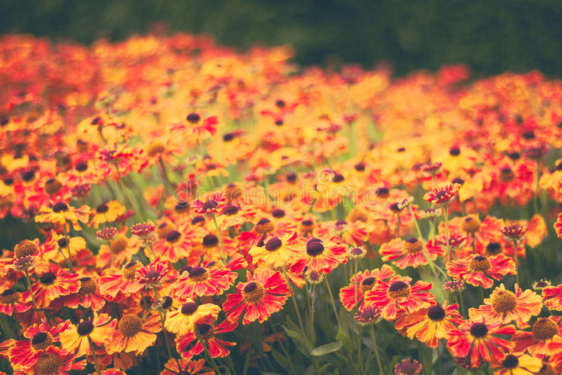 Enorme cantidad de flores anaranjadas en un campo imágenes de archivo libres de regalías
