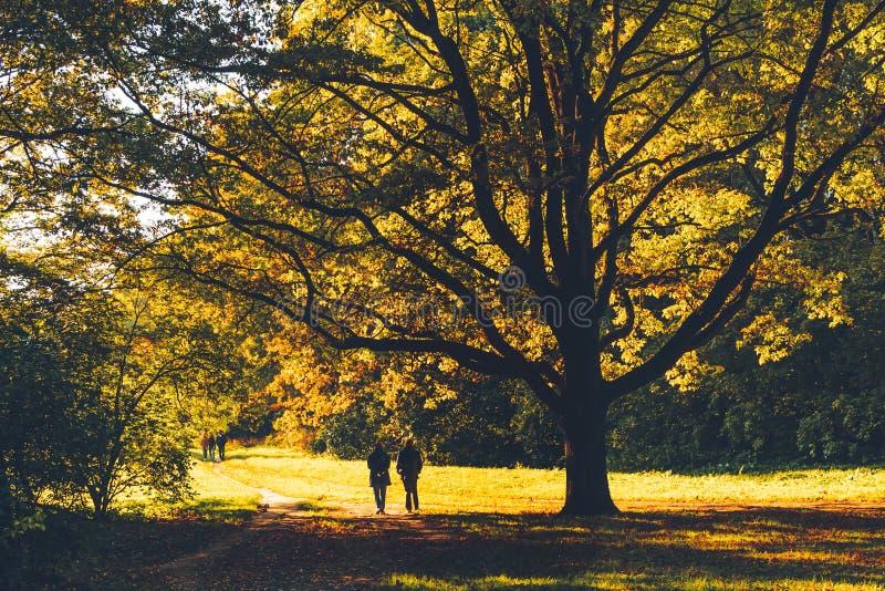 Enorme carvalho velho com folhas amarelas iluminadas de trás com sol no parque de outono, pessoas caminhando sob a árvore imagens de stock royalty free