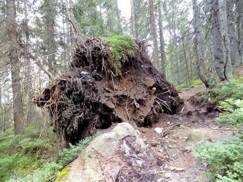 Enorme cumulo di terra con alberi morti e radici immagini stock