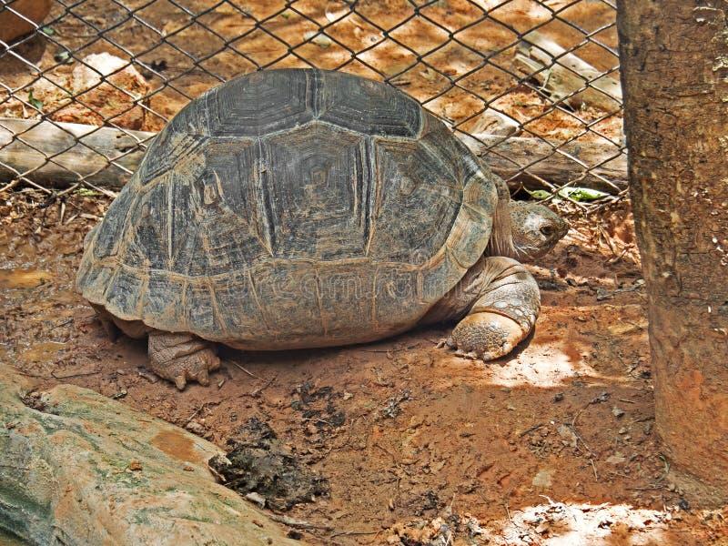 Enorme Gopher-Schildkröte aus den Grund stockbild