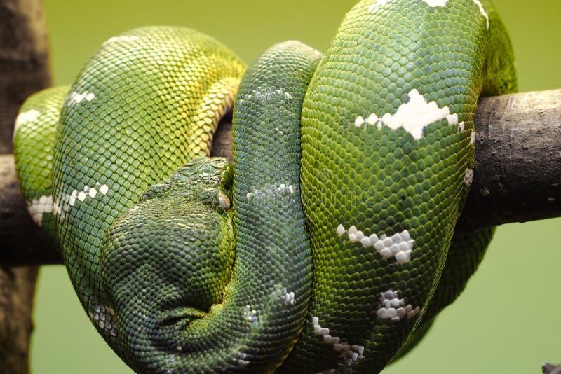 Enorme Grünskalaschlange, Smaragdbaumboa, kräuselnd um einen hölzernen Stock stockfoto