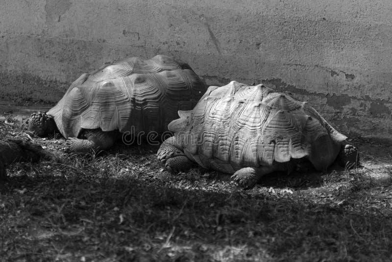 Enorme Schildkröten auf einem Landsafaribauernhof stockbilder
