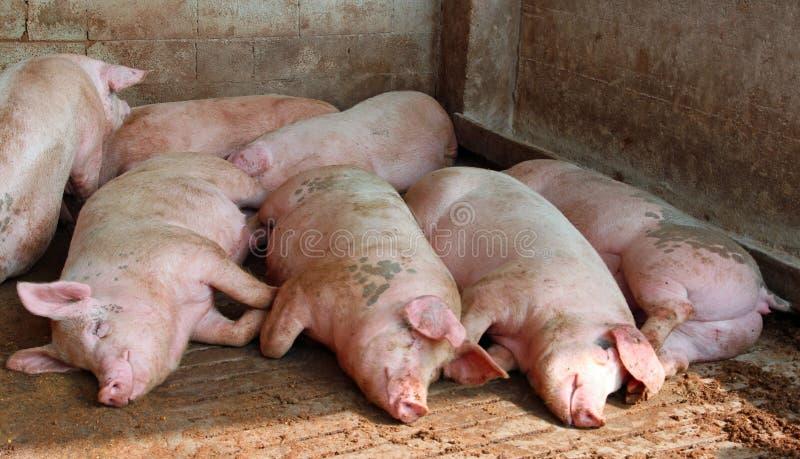 Enorme Schweine im Schweinestall des Bauernhofes stockfotos