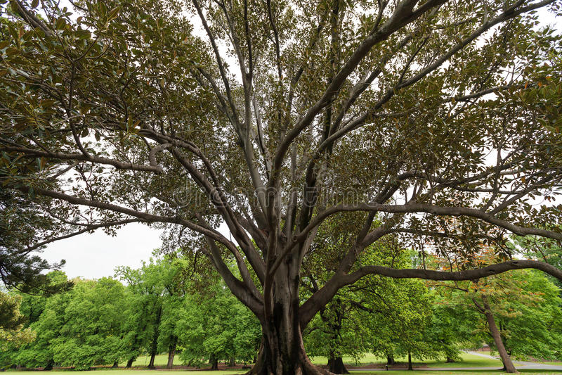 Enorme vijgeboom bij Fitzroy-Tuinen, Melbourne royalty-vrije stock afbeeldingen