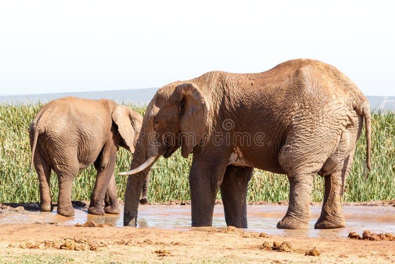 Enormer Afrikaner-Bush-Elefant, der ein Bad nimmt lizenzfreie stockfotos