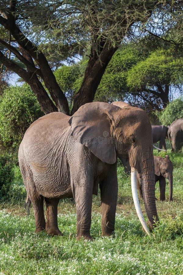 Enormer afrikanischer Elefant mit den langen Stoßzähnen Kenia, Afrika lizenzfreie stockfotos