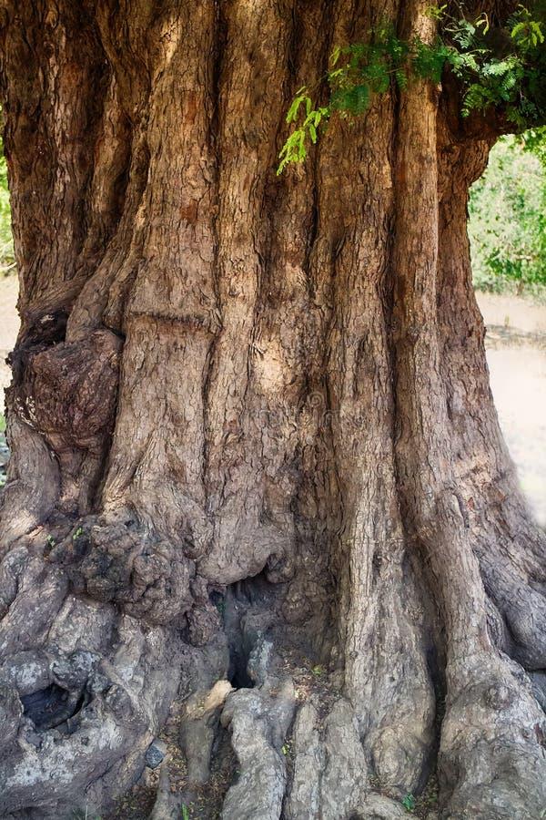 enormer Akazienbaum mit knotigem Stammalter viele Jahrhunderte lizenzfreie stockfotos