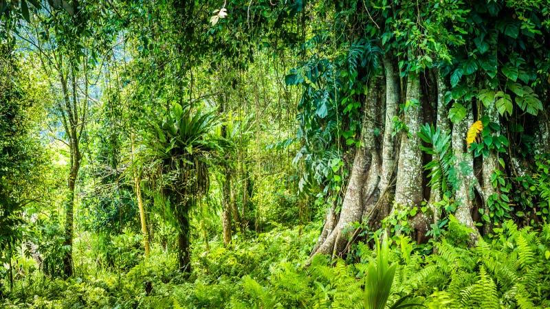 Enormer alter Banyanbaum bedeckt durch Reben in Bali-Dschungel lizenzfreie stockbilder