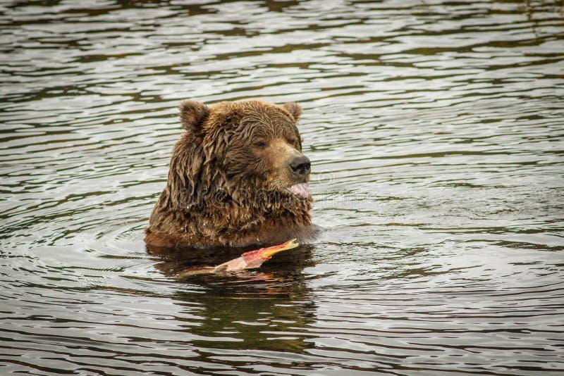 Enormer Bär, der die Lachsfische in Katmai NP, Alaska isst stockfotos
