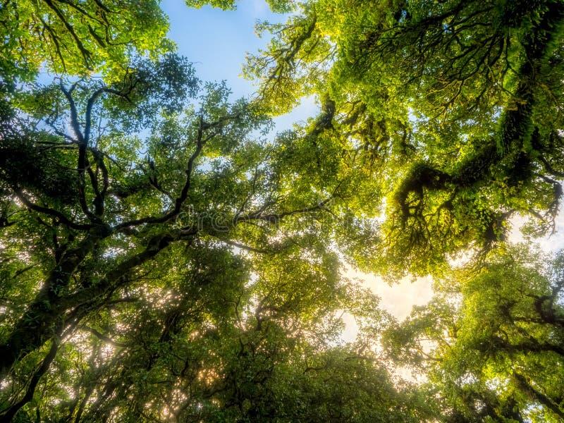 Enormer Baum beim Schauen oben angesehen stockfoto