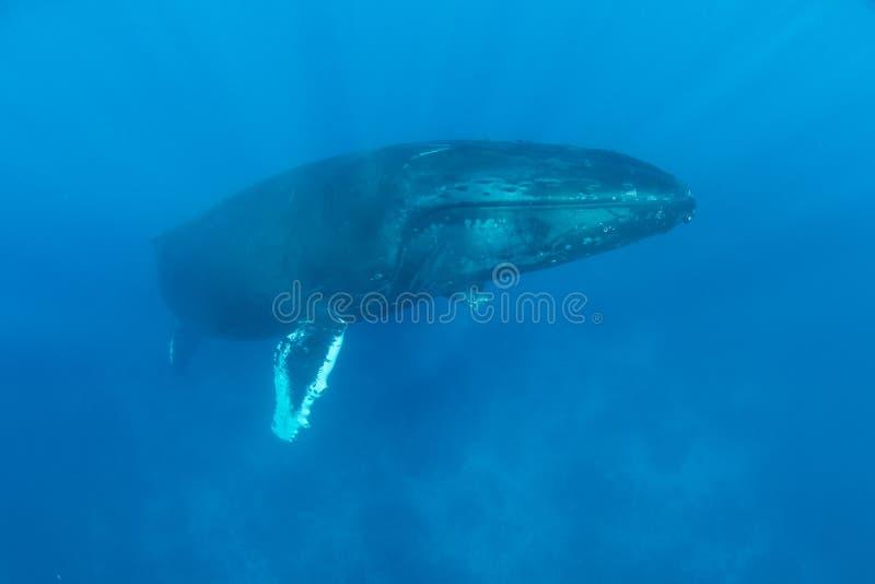 Enormer Buckel-Wal steigt, um aufzutauchen lizenzfreies stockbild