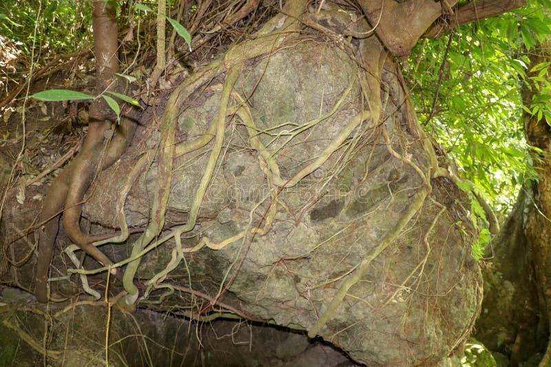 Enormer Flussstein überwältigt mit tropischen Baumwurzeln Kieferwurzeln auf Stein Ein Baum, der auf einen großen Felsen mit seine stockbild