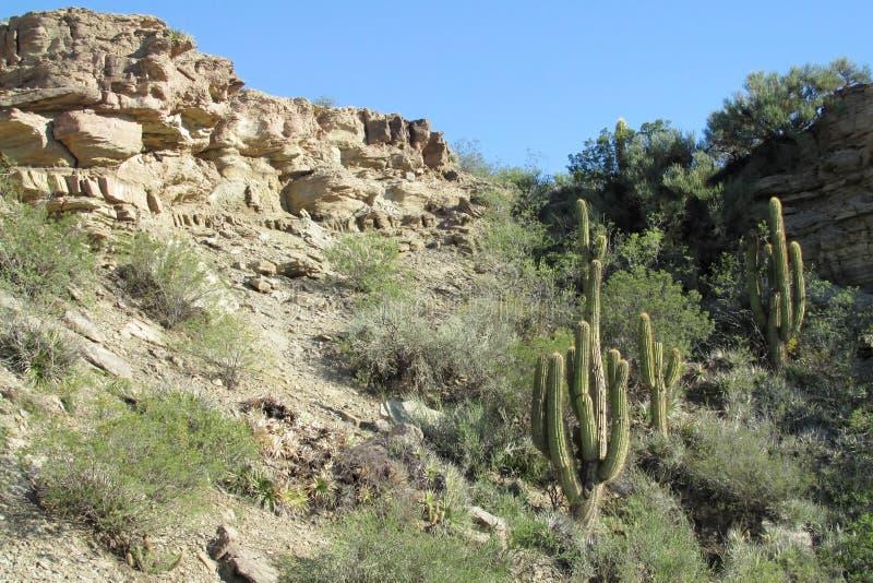 Enormer Kaktus im Wald stockfotos