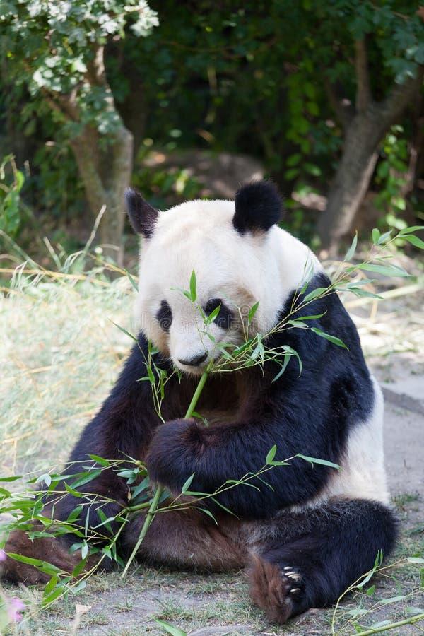 Enormer Panda ein Bär