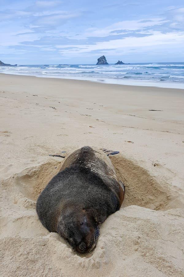 Enormer Seelöwe halten auf sandigem Strand Neuseelands Winterschlaf lizenzfreies stockfoto