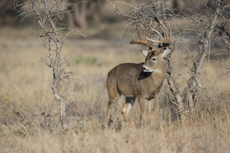 Enormer Whitetail-Dollar in der Furche stockbilder