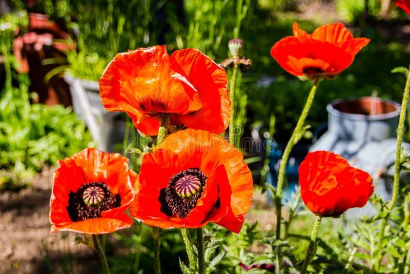 Enormes orange orientalische Mohnblumen Papaver orientale haben eine leuchtende und papery Blüte mit blauen Augen stockfotos
