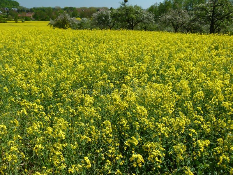 Enormes Rapsfeld in voller Blüte lizenzfreie stockfotografie