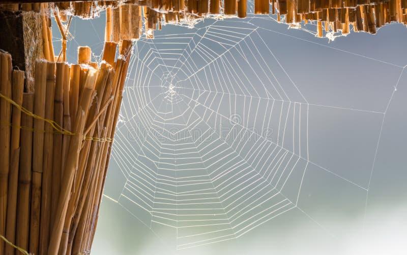 Enormes Spinnen-Netz auf Schilfen stockfoto