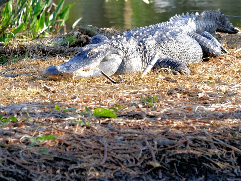 Enormous American alligator in wetlands. An American alligator resting on the ground of a South Florida wetland stock image