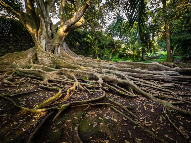 Enormous fig tree roots. Giant roots of a tree in the José do Canto Botanical Garden in Ponta Delgada, Sao Miguel island, Azores, Portugal stock images